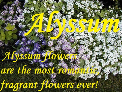 5/8 Dram(Sample) Perfume Oil-Alyssum-Alyssum, Alyssum Fragrance,Alyssum Fragrance Oil, Alyssum sample,  Alyssum perfume, 